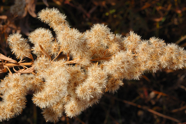 Broemmelsiek Park, in Saint Charles County, Missouri, USA - cluster of brownish-yellow seed heads