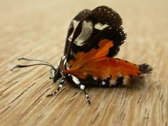Hecatesia fenestrata (dhobern) Tags: november australia lepidoptera noctuidae act 2010 aranda agaristinae taxonomy:order=lepidoptera taxonomy:family=noctuidae fenestrata geo:country=australia hecatesiafenestrata geocode:accuracy=15 geo:lat=352639 geo:lon=1490833 taxonomy:binomial=hecatesiafenestrata taxonomy:genus=hecatesia hecatesia