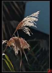 Nom scientifique : Rhizoma Phragmitis (mamnic47 - Over 5 millions views.Thks!) Tags: automne contrejour roseau laseine roselire