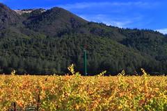 Saint Francis Vineyards #2 (Bob Bowman Photography) Tags: california harvest vineyards mthood kenwood platinumphoto stfrancisvineyards