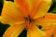 Sexta Flower - Detalhes to pequenos de ns dois  (Nay Hoffmann) Tags: orange plant flower color detail verde green planta yellow spider laranja flor yellowflower friday detalhe amarela sextafeira aranha colorido floramarela masterphotos