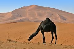 Camel between dunes - Explore (TARIQ-M) Tags: texture landscape sand desert ripple dunes tent camel ripples riyadh saudiarabia hdr الصحراء الرياض صحراء خيمة رمال جمل ابل رمل canonef70200mmf4lusm خيام طعوس طعس نياق المملكةالعربيةالسعودية canon400d الرمل ناقة خطوط نفود الرمال كثبان تموجات تموج نفد