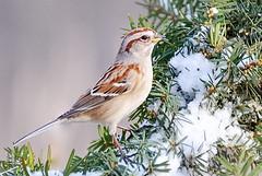 Makes me think about Christmas again.DSC_2200a (f6.1-f8.0) Tags: park cambridge ontario canada tree bird nature birds fauna riverside natural kitchener waterloo american sparrow birdwatcher nikon90 capturenx2