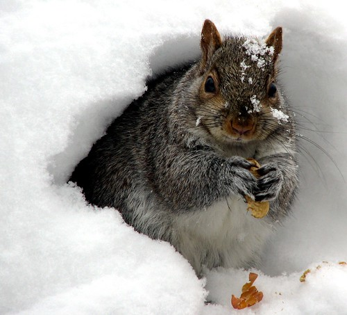Snow Squirrel on Groundhog's Day