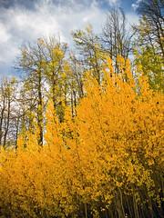 IMG_3084web (rowjimmy76) Tags: california autumn trees nature forest canon landscape outdoors fallcolor hiking foliage vegetation sierranevada g11 easternsierra aspengrove southernsierra hookermeadow kernplateau