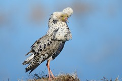 """Ruff / Suokukko """"Ludwig"""" (Tuomo Nykänen) Tags: ruff suokukko calidris pugnax suomenlinnut finnishbirds suomi lintu finnish bird"""