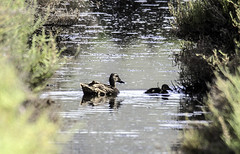 Anas clypeata -  Cullerot (ibzsierra) Tags: cullerot pato anade ave bird oiseau duck canard anasclypeata tamron 150600 g2 tamronsp150600mmf563divcusdg2a022 salinas parque natural