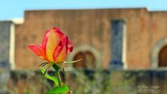 🌹 (✿ Graça Vargas ✿) Tags: flower graçavargas ©2017graçavargasallrightsreserved rose rosa bud chania creta greece 23011140717