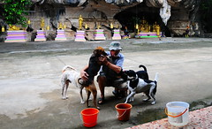 ,, Mr Jon & The Hooligans ,, (Jon in Thailand) Tags: street streetphotography streetphotographyjunglestyle dog dogs k9 k9s dj angeleyes 2tone booboo mrjon monkeytemple buckets rainwaterbuckets orangebucket green purple gold statues buddha giantchickens goldenbells booniehat sandals happydogs realhappydogs dogtails dogtongue dancingdog cave jungle nikon d300 nikkor 175528 photoman abandonedabusedstreetdogs orange plasticbucket littledoglaughedstories