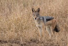 Black backed jackal (dunderdan77) Tags: jackal kruger national park south africa nature wildlife nikon tamron outdoor satara