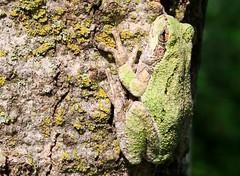 gray tree frog at Lake Meyer Park IA 854A7332 (lreis_naturalist) Tags: gray tree frog lake meyer park winneshiek county iowa larry reis