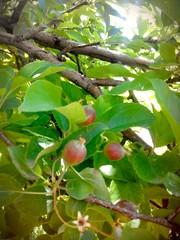 2017-07-05_02-02-07 (ellabaghdasaryan1) Tags: apple armenia armenian love lovely