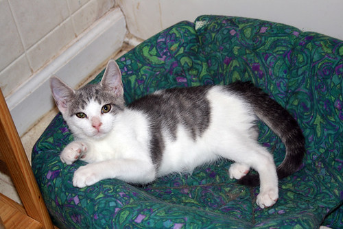 Astute, a small grey and white tabby kitten, lolls in his bed while eyeing the photographer with a certain amount of kittenly skepticism.  I assure you that he was, however, purring.