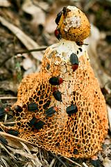 Taiwan saprophage carrion beetles on mushroom (hugo D.) Tags: macro nature mushroom bug insect dead ant beetle fungus ants hugo carrion fourmis fourmi darras staphylinidae mpe65mm mt24ex silphidae saprophage oiceoptoma necrophage detritivore