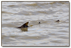 SHARK! (Romair) Tags: fish shark sanfranciscobay sharkfins tiburonca nikond90 rogerjohnson