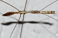 Un alieno in casa (ste.it) Tags: macro bug walking alien walkingstick stick phasmatodea raynox tamron90 raynoxdcr250 fasmidi