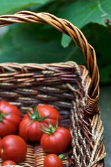 Seeing Red and Loving It (Chiot's Run) Tags: tomato basket tomatoes harvest organic homegrown heirloomtomatoes organicgardening ediblegardening growyourown harvestbasket redtomatoes homegrowntomatoes organictomatoes tomatoharvest nongmo gmofree growingorganically heirloomtomatoharvest
