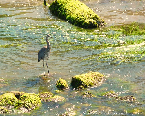 Heron on Bellingham Bay