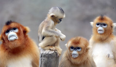 Golden monkey (floridapfe) Tags: family animal zoo monkey golden korea everland 에버랜드 goldenmonkey