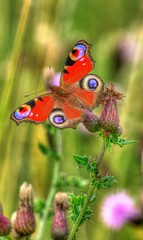 Peacock butterfly on thistle