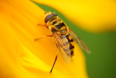 Rovar - Insect (Adam Tomk) Tags: flower macro yellow insect virg dcr250 raynox rovar srga