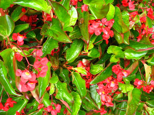 today fl beg IMG_1892begonia