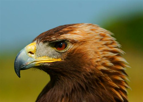 Golden Eagle of Fife,            This is Scotland