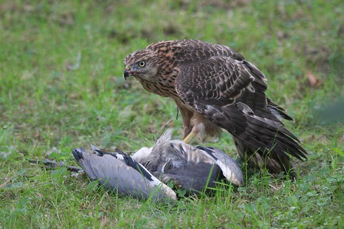 Goshawk killing Grey Heron