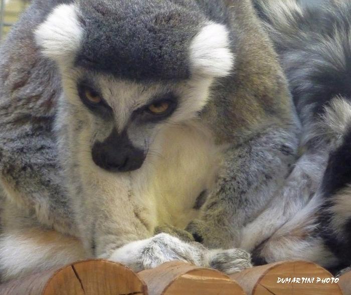 这是马达加斯加的獾熊
