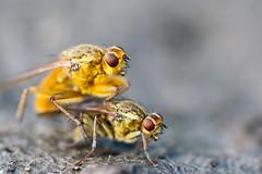 Mating (kaibara87) Tags: macro nature sex closeup insect fly insects 100mm flies mating 虫 macrosdenaturaleza
