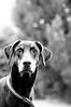 Basco the Doberman (TomasHaande) Tags: dog innocent doberman nikkor 70300