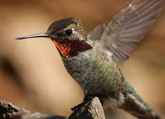 IMG_0029 (William Jensen Photography) Tags: bird hummingbird avian californianative annashummingbird calypteanna specanimal canon300mmf4lis montereycountycalifornia canon40d
