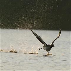 Taking off at dawn (NaPix -- (Time out)) Tags: lake canada sunrise landscape fly flight run splash takeoff loon gaviaimmer lakescape specanimal canonef70200mmf4lisusm canonef14xiiextender napix greatnorthernloon thehardestchallengeforloonsisgettingupintheairinthefirstplaceinordertogetlifttheyneedalotofairrushingbeneaththeirairfoilwings