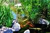 IMG_7589_2 (Chic Bee) Tags: summer arizona fish hot pond colorful day bright tucson sunny american koi consumer govinda ongoldenpond minivacation twohour beautifulfish beautifulkoi newamericanconsumerstwohourminivacation govindapond