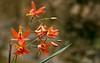 Bletia coccinea (Pablo Leautaud.) Tags: plants fauna mexico flora plantas unam mx guerrero herbario vegetacion facultaddeciencias pleautaud fcme bletiacoccinea taxonomy:binomial=bletiacoccinea