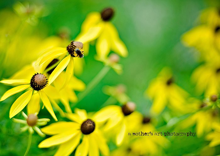 black eyed susans WM