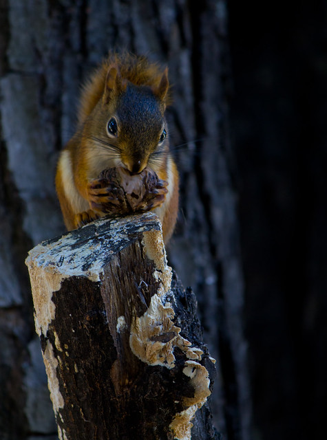 Squirrel Nut