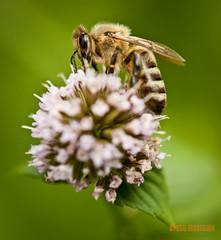 honey-bee-on-mint-flower.jpg (brettmtn) Tags: flower macro green closeup mint bee honey 365