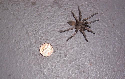 baby tarantula, connie muir, c vly