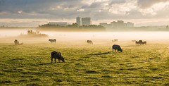 Morning Mist 4 (genf) Tags: city morning light mist amsterdam fog clouds sunrise licht early view cows flat sony contest meadow wolken arena blocks weiland amstel ochtend koe koeien zonsopgang nwn ouderkerk morgenlicht vergezicht fotowedstrijd a700 vroege