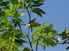 Yellow-green vireo at Tulum P1070496 (grebberg) Tags: vacation bird mexico yucatan july tulum august ave pajaro fugl 2010 quintanaroo vireo yellowgreenvireo vireoflavoviridis
