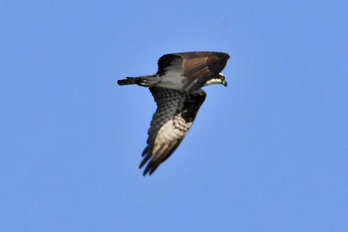 Trustom Pond NWR osprey 2