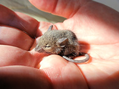 Lorenzo, a tiny field mouse (brooksbos) Tags: city urban macro cute nature animal boston geotagged ma mouse photography photo massachusetts sony adorable newengland cybershot precious tiny bostonma southend sonycybershot fieldmouse bostonist lurvely 02116 themacrogroup thatsboston dschx5v hx5v brooksbos