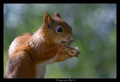 Squirrel Nutkins (Grievous247) Tags: food cute nature squirrel sweet eating wildlife nut redsquirrel naturelovers a700 nbw sonya700 sal70400g