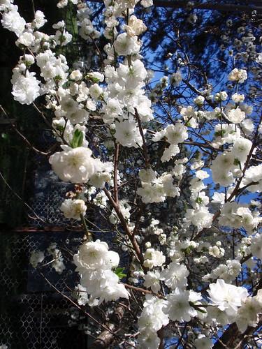 Rouchel blossom