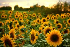 Whoa (dareppi) Tags: summer sun flower evening sunny clear sunflower settingsun