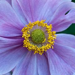 The Queen, Center Stage (bo mackison) Tags: flowers summer floral gardens botanical anemone universityofwisconsin botanicalgardens madisonwisconsin queencharlotte allencentennialgardens japaneseanemone anemonehybred
