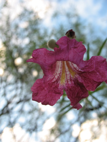 my desert willow blooming