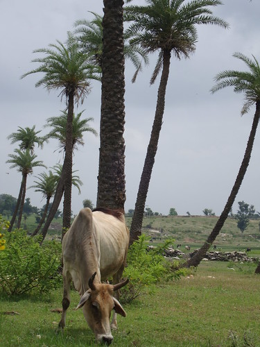 Rajasthan cow (Bhimpur Village)