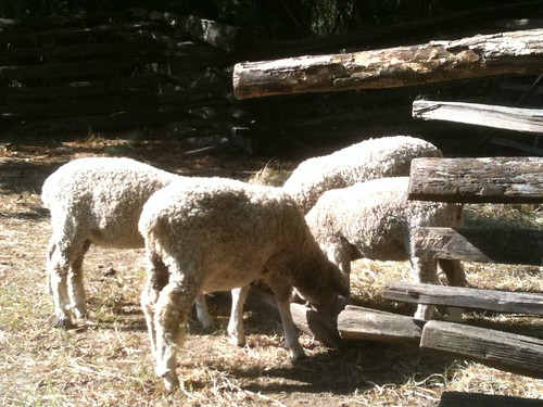 Hog Island sheep and Leicester Longwools